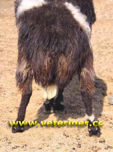 моркараманская порода овец