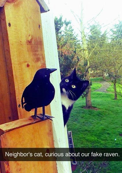 cat scared of fake raven, funny snapchats, funny animal snapchats, lolcat, cat funnies, cat humor, animal funny,