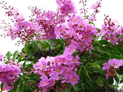 Hình ảnh đẹp hoa bằng lăng tím