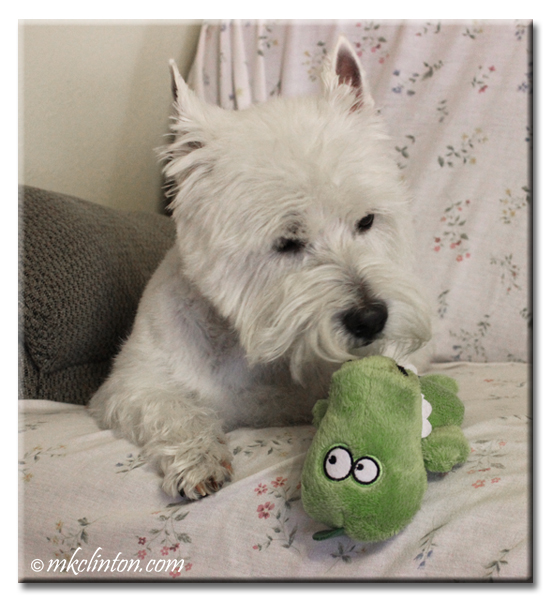 Pierre Westie loves his Hear Doggy Mini gator