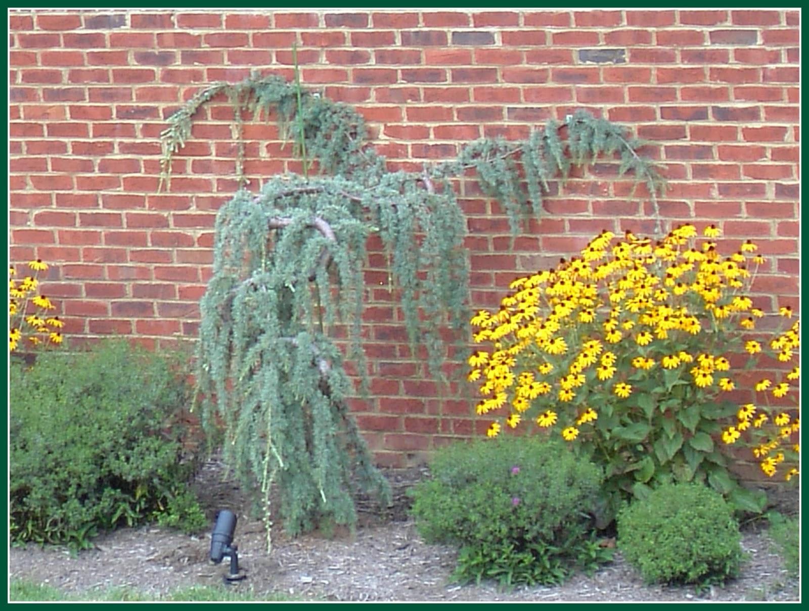 panoply: weeping cedar atlas plant - garden specimen plant
