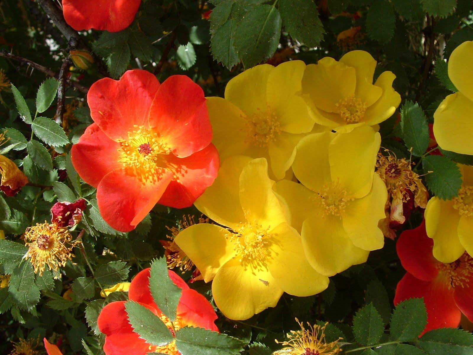Flowerpedia: Rosa Foetida