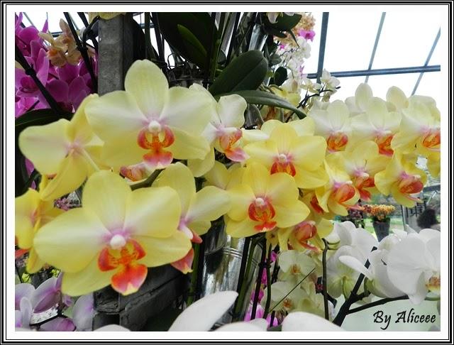 orhidee-galbene