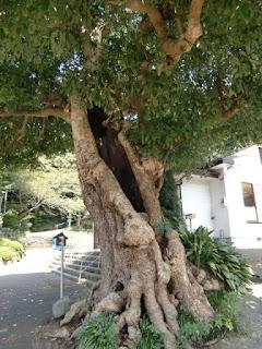 村岡御霊神社タブノキ