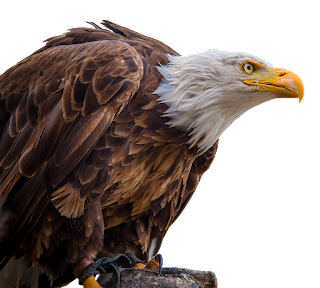 facts about eagle