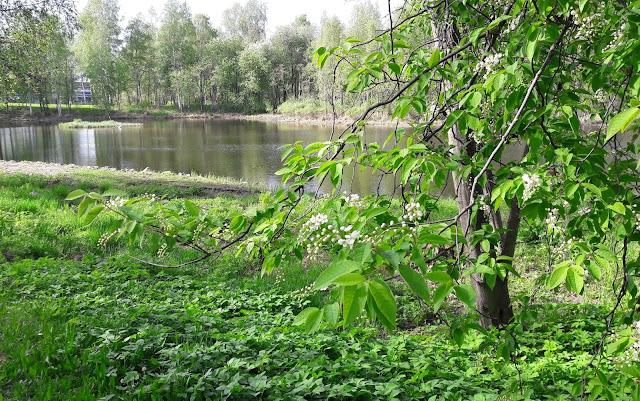 Tuomi kukkii Ainolan puisto Oulu