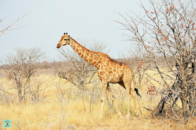 Jirafa en Etosha, Namibia