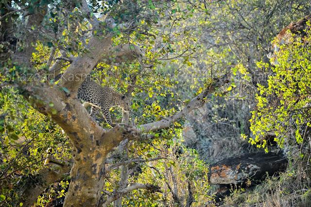 Leopard, Tsavo West Safari, Wild Kenya Safaris, www.wildkenyasafaris.com, Kenya Safaris, Shazaad Kasmani, Safaris from Diani Beach, Safaris from Nairobi, Safari company Kenya, Safari to Tsavo West, Safari Bookings Kenya, 2 days safari tsavo west, Safari wakacje w Kenii, reisen kenia, urlaub safari kenia, reisen diani safari kenia