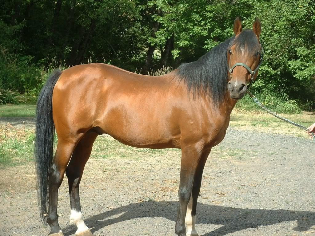 Pictures Blog: Bay Arabian Stallion   1024 x 768 jpeg 235kB