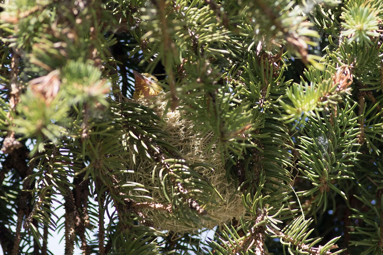 Orchard Oriole Nest - photo#18
