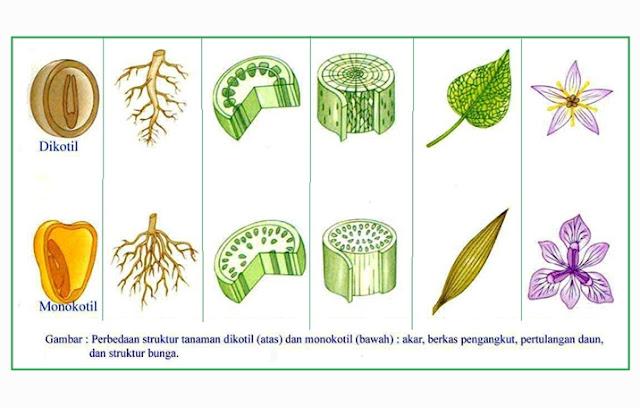 Pengertian, Ciri, Struktur Monokotil dan Dikotil