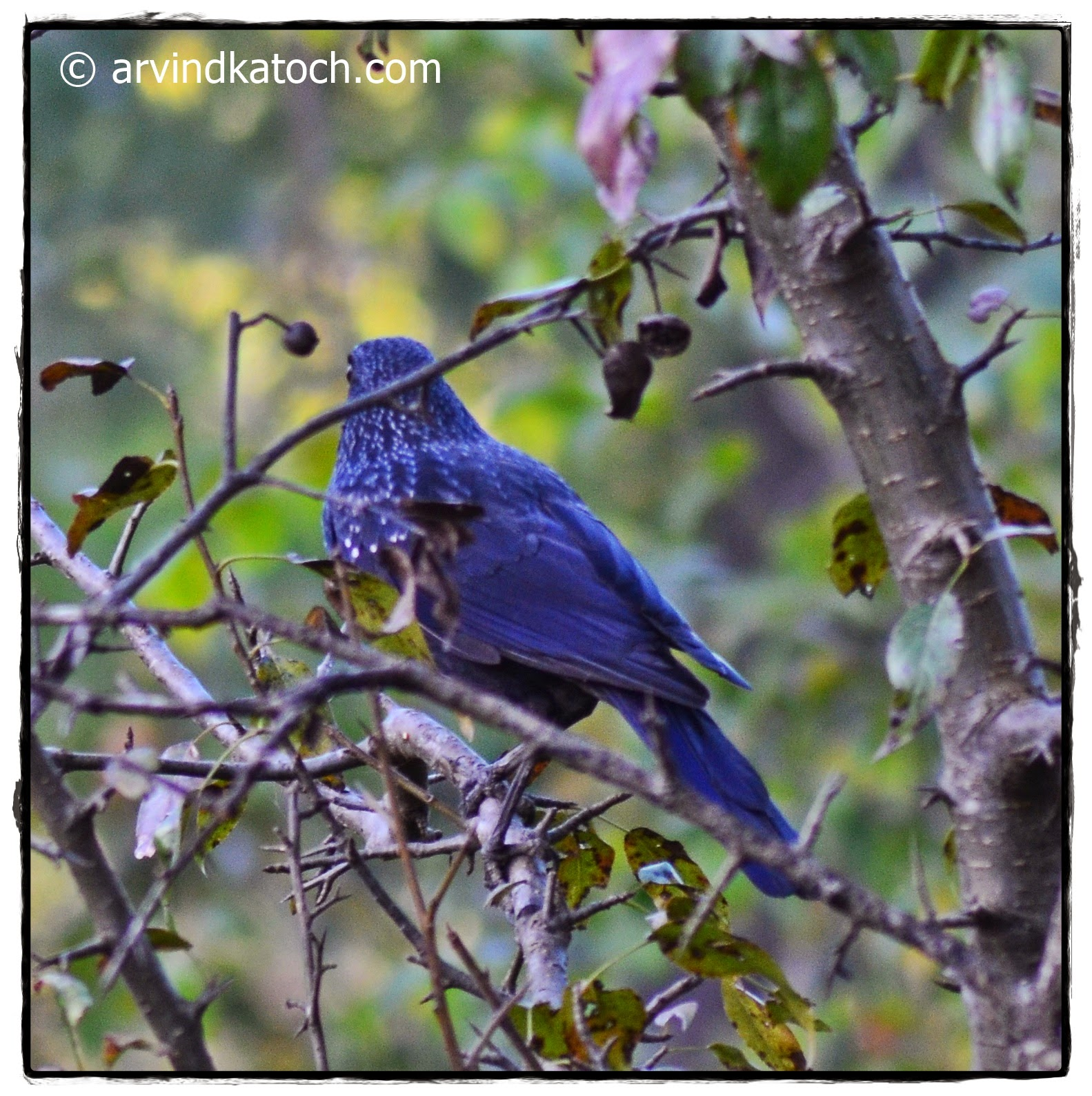 Blue Whistling Thrush, Back