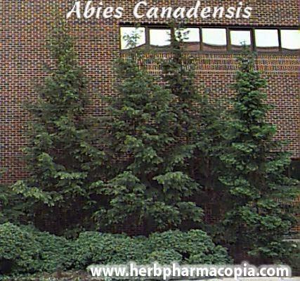Homeopathic Pharmacopiapakistan Abies Canadensis Hemlock Spruce