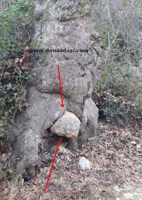 Taş Yutan Ağaçlar