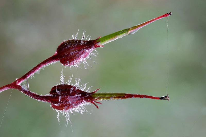 semilla pelargonio