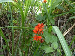 Pseudogynoxys chenopodioides - Marguerite orange