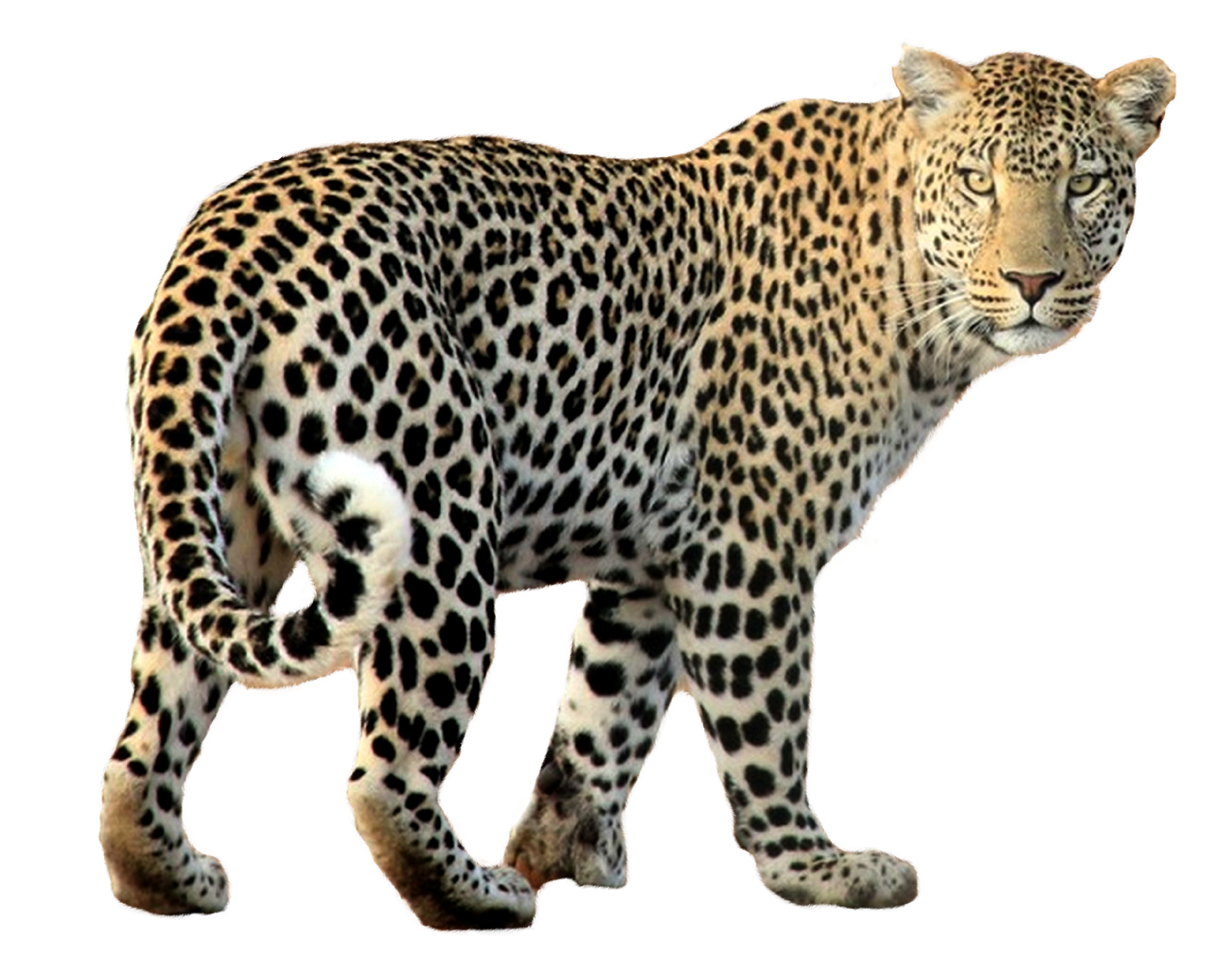 PNG Sector: Indian leopard - Leopard/Cheetah Free Png Image