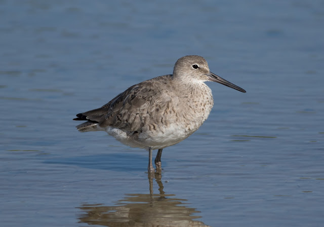 Willet - Bunche Beach, Florida