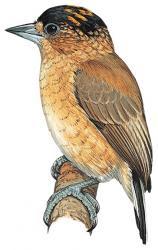 Picumnus fuscus