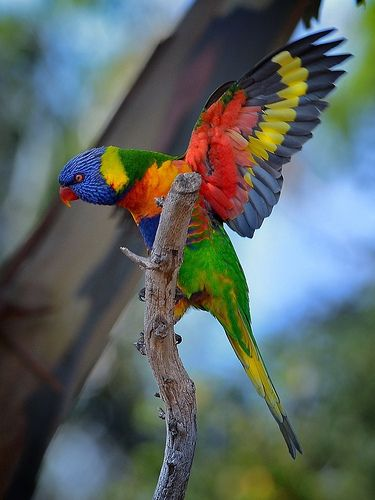 Rainbow Lorikeet (Trichoglossus haematodus) | Our World's 10 Beautiful and Colorful Birds