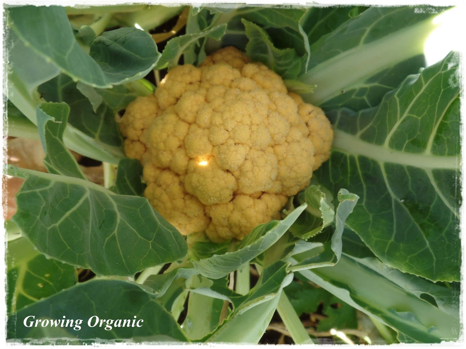 Cauliflower: cultivation and care 61