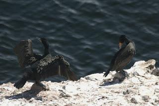 Phalacrocorax carbo - Grand Cormoran - Cormoran commun