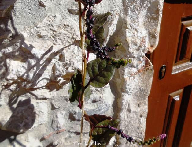 pnącze na ścianie z kamienia, obok brązowe drzwi