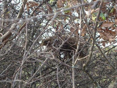 Un petit nid dans l'épine vinette que l'on devine une fois les feuilles envolées