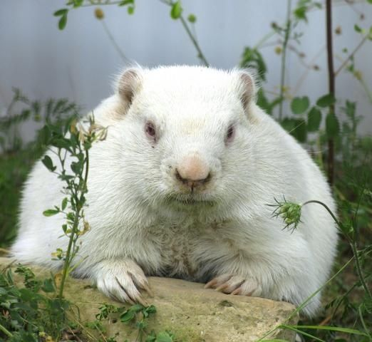 Ground Hog | A-Z List of 125 Rare Albino Animals [Pics]