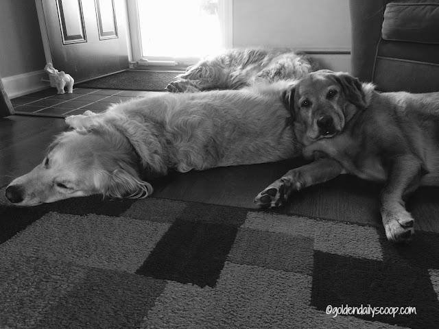 golden retriever dogs sleeping on each other