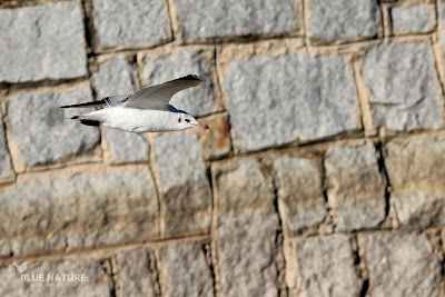 Pudimos ver muchas gaviotas reidoras (Chroicocephalus ridibundus) en vuelo, posadas, reposando, peleando por comida, etc. Esta especie es migradora invernante, pues solo es observable durante esta estación del año.