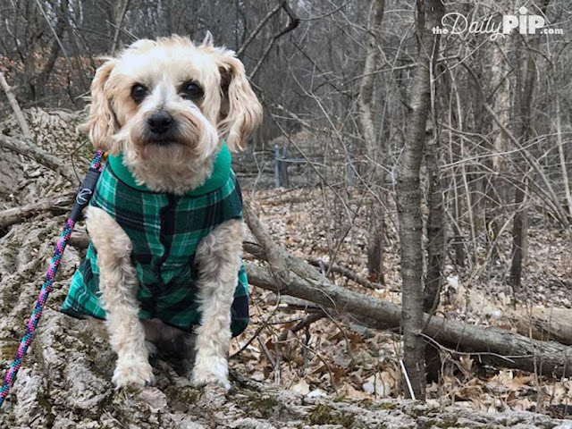 Ruby likes to walk in the woods  in her Gold Paw Series Fleece and hopes spring will arrive soon