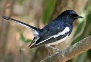 mengenal sifat alami burung kacer