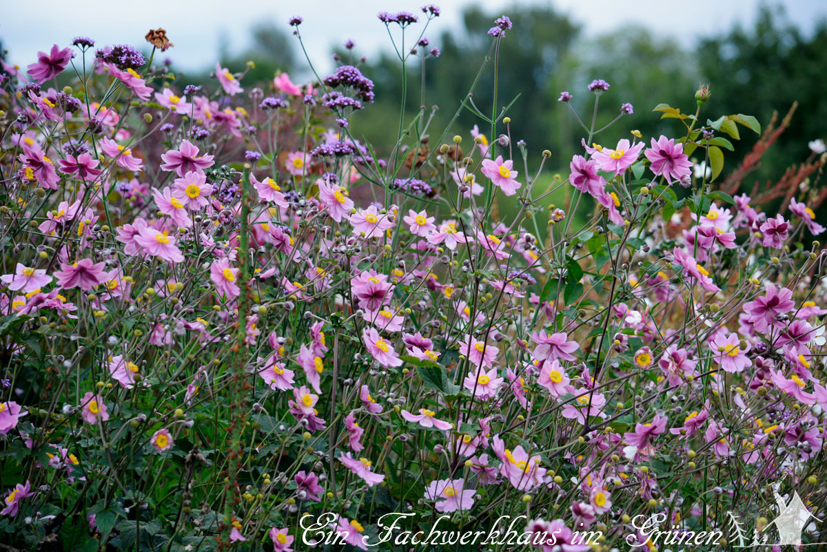 Anemone und Verbena bonariensis