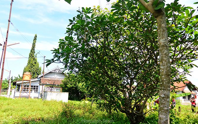Pohon Kamboja yang tidak jauh dari Stasiun Lama Maguwo