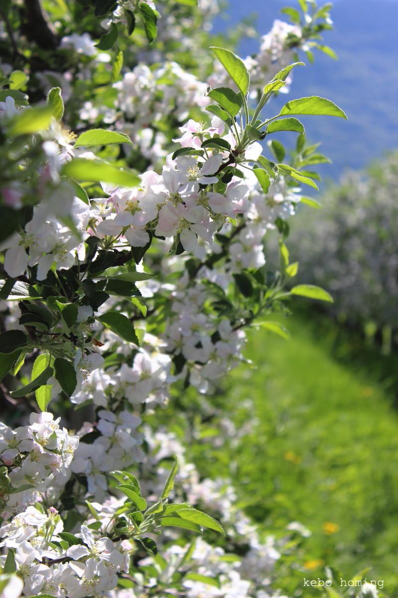 Apfelblüte, Frühling, Apfelbäume, Lana, Photography by kebo homing, Südtiroler Food- und Lifestyleblog