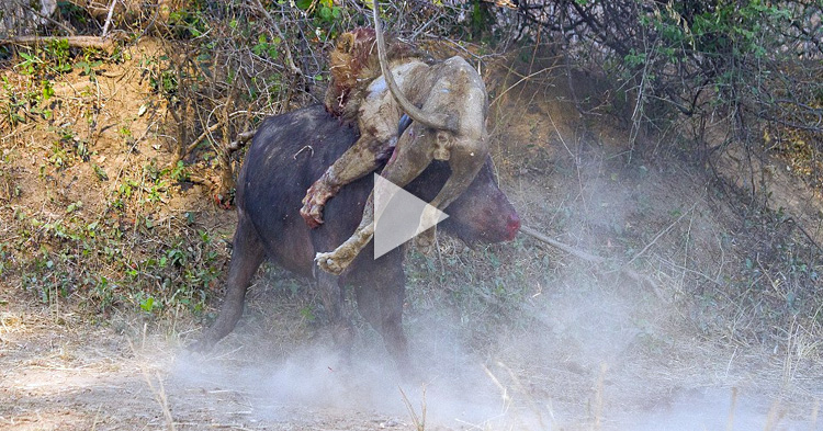Buffalo and Lion engaged in a deadly battle that lasted for an hour