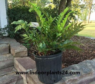 Cyrtomium Falcatum Aspidiaceae house plant