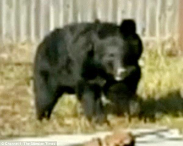 Chó lạp xưởng đánh nhau với gấu để cứu 2 đứa trẻ