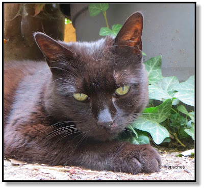 schwarze Katze Rambo