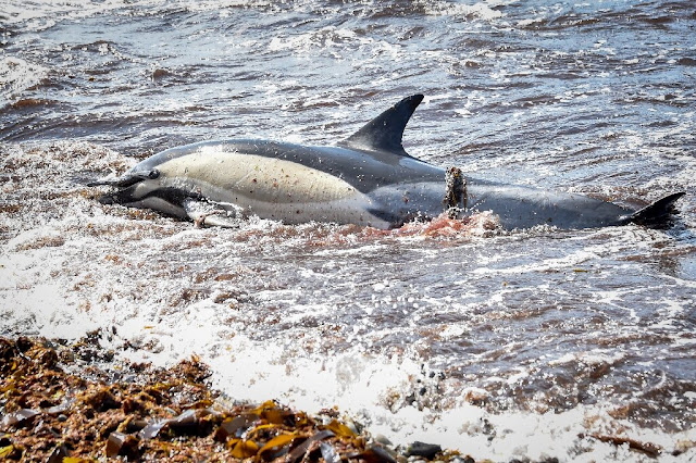 Hundreds of dead dolphins wash up on French coast