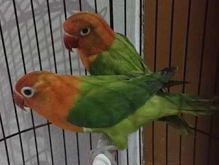 Lovebird ialah burung yang mempunyai keunikan tersendiri yaitu selain warnanya yang anggun Kumpulan jenis dan warna burung Lovebird terbaik dan termahal