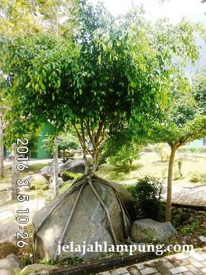 pohon beringin unik