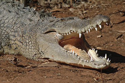 Crocodile Kills Russian Tourist In Indonesia