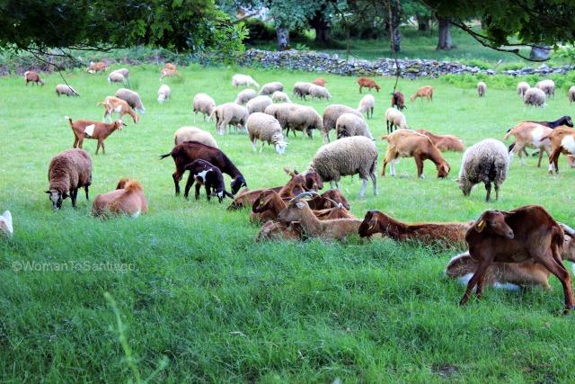 camino-frances-ovejas-taller-del-camino-de-santiago-womantosantiago