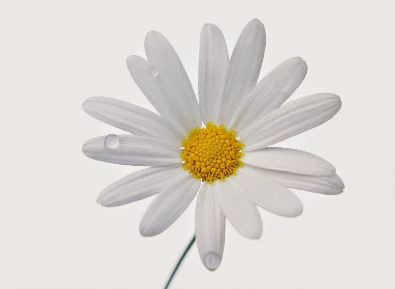 flower white background