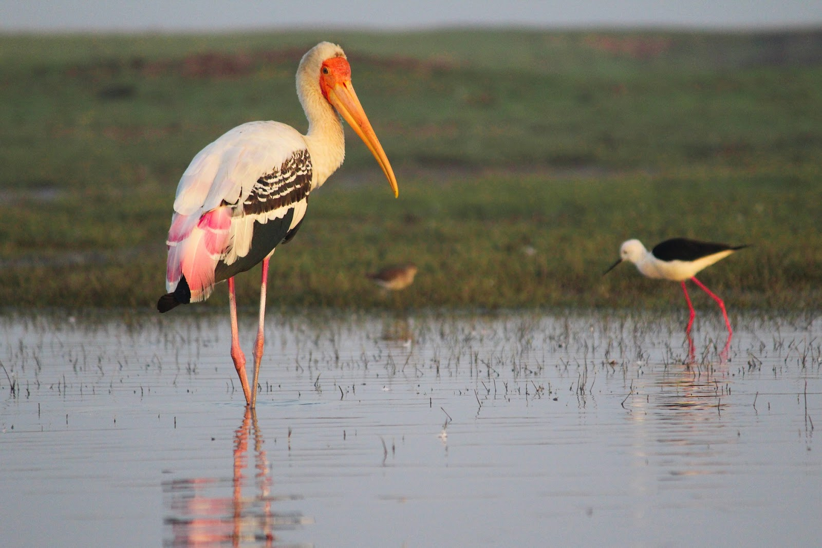 Painted stork at Bhigwan