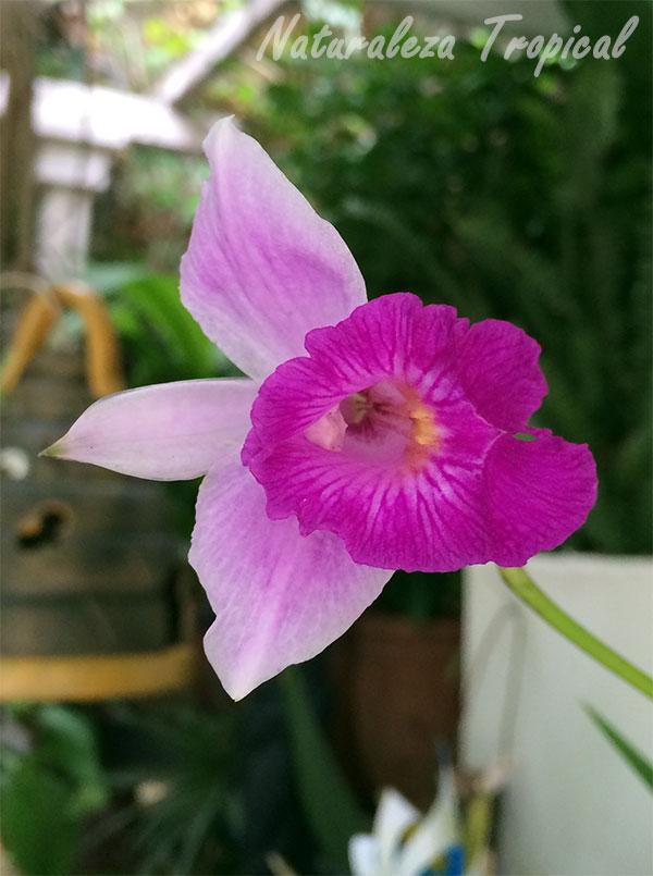 La flor de la Orquídea Bambú abierta horizontalmente, Arundina graminifolia