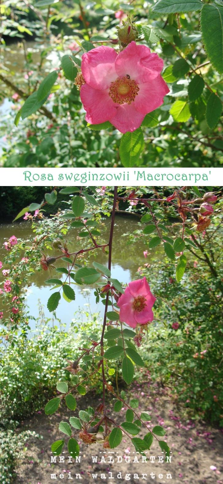 mein waldgarten rosen sorten gr ne rosen. Black Bedroom Furniture Sets. Home Design Ideas