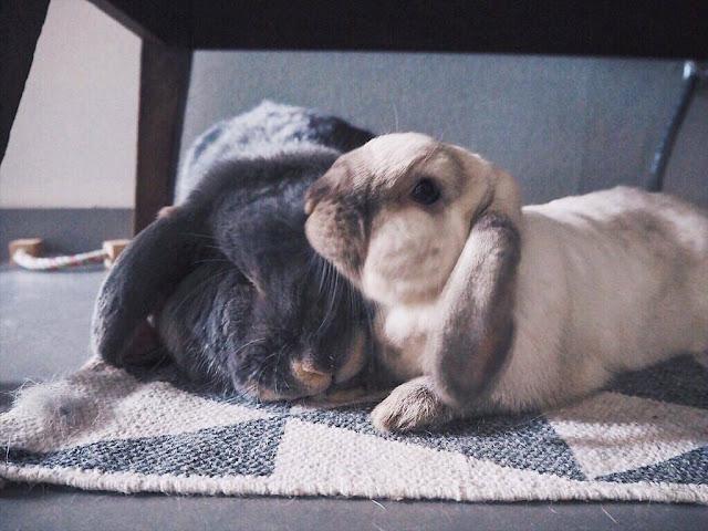 couple lapin belier mignon